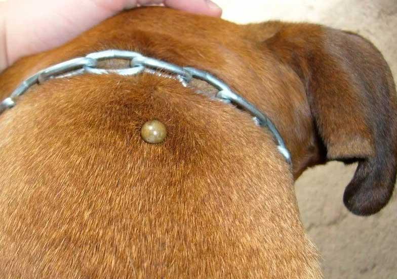 Как безопасно удалить клеща с собаки?